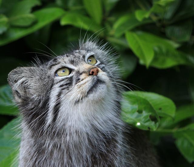 pallas-cat-cat-manul-wild-59856